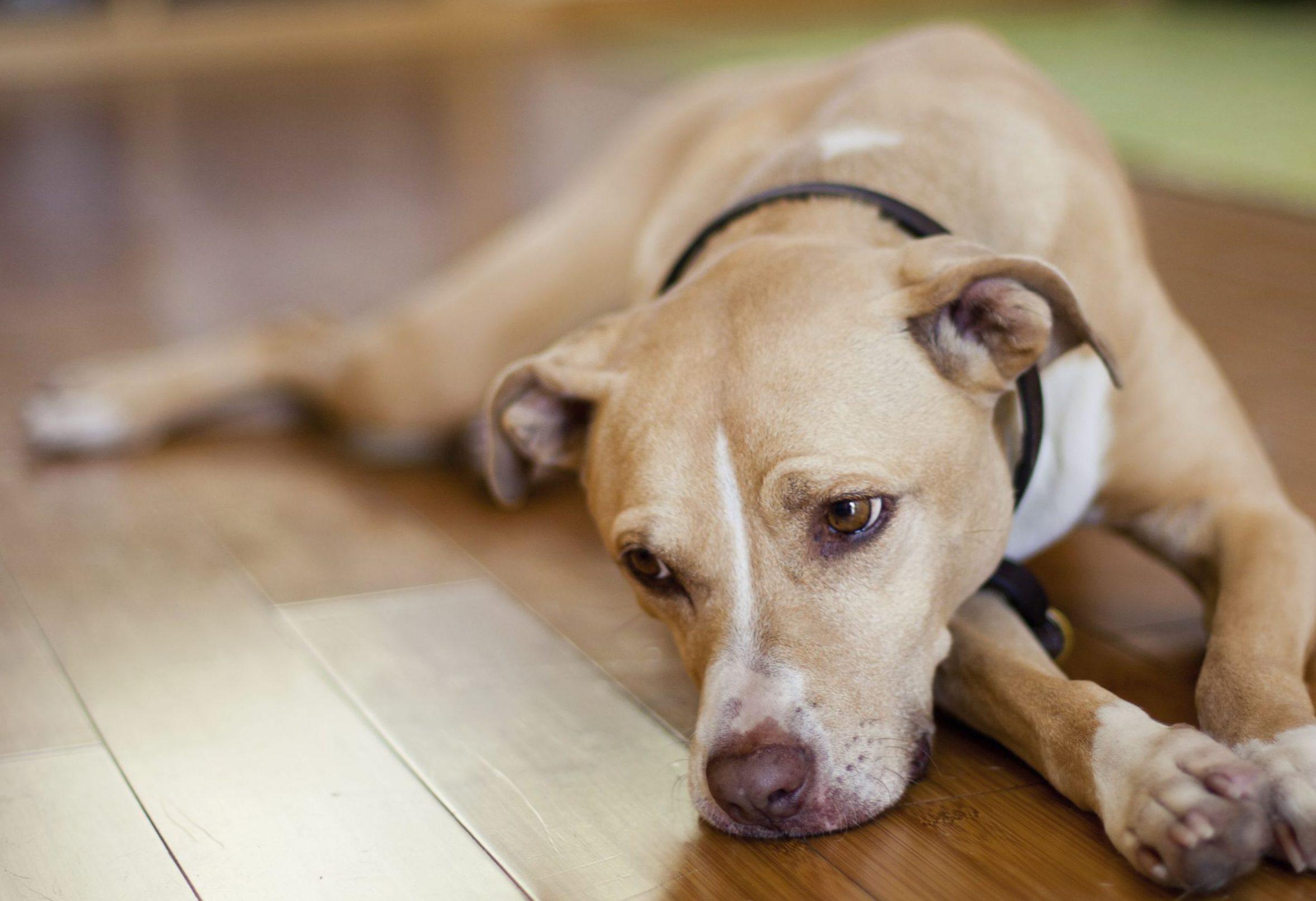 Grünlippmuschel bei Gelenkschmerzen beim Hund? - Meine..